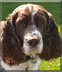 Basil the English Springer Spaniel