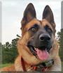 Maximus the German Shepherd Dog