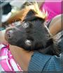 Chena the Chihuahua