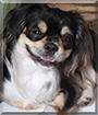 Yuso the Japanese Chin mix