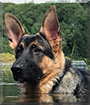 Argos the German Shepherd Dog