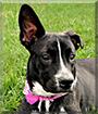 Willow the Pitbull, Boxer