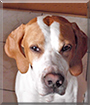 Fionn the English Pointer