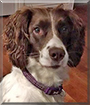 Tilly the English Springer Spaniel