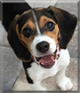 Hank the Beagle