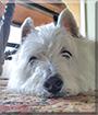 Ben the West Highland Terrier