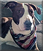 Rebel the Pointer mix