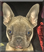 Blu the French Bulldog