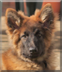 Theo the German Shepherd/Belgian Malinois
