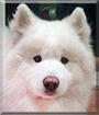 Buddha the Samoyed