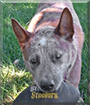 Booter Bear the Australian Cattle Dog