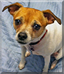 Lucy the Rat Terrier Mix