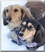 Bentley and Dante the Dachshunds