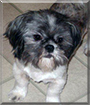 Brogleh the Shih Tzu