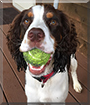 Shamus the English Springer Spaniel