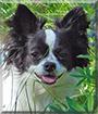 Pixie the Longhair Chihuahua