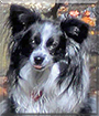 Bentley the Papillon