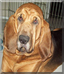 Remington the Bloodhound