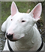 Majzel the English Bullterrier