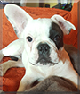 Popò the French Bulldog