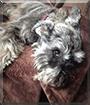 Baxter the Schnauzer