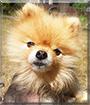 Sparky the Pomeranian