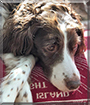 Maize the Brittany Spaniel