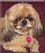 Bella the Shih Tzu