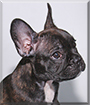 Bane the French Bulldog