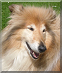 Kyla the Rough Collie