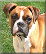 Roxy the Boxer