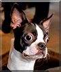 Sir Roscoe the Boston Terrier