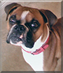 Lucy the Boxer