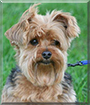 Zeus the Yorkshire Terrier