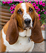 Tucker the Basset Hound