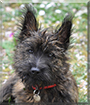 Dolman the Cairn Terrier