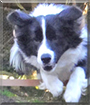 Benji the Border Collie