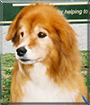 Junebug the Shetland Sheepdog, Border Collie mix