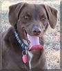 Hoyt Emma the Labrador Retriever/Heeler mix