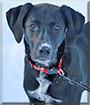 Marley the Labrador Retriever, Dalmatian mix