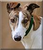 Frankie the Greyhound