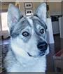 Wolfie the Husky, Cattle dog mix