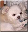 Romeo the Chihuahua