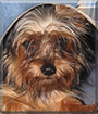 Romeo the Yorkshire Terrier