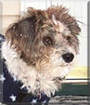 Mollie the Lhasa Apso/Poodle mix