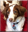 Harper Lee the Brittany Spaniel