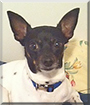 Lilly the Chihuahua/Rat Terrier mix