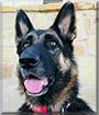 Tory the German Shepherd Dog