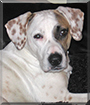 Otis the Labrador, Beagle mix