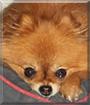 Pixie the Pomeranian